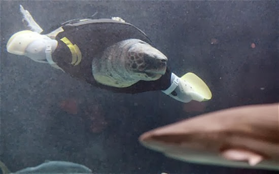 Yu, an approximately 25-year-old female ...Yu, an approximately 25-year-old female loggerhead turtle, swims after receiving her 27th pair of artificial front legs at the Suma Aqualife Park in Kobe on February 12, 2013. Yu lost her front legs during a shark attack. AFP PHOTO / TOSHIFUMI KITAMURATOSHIFUMI KITAMURA/AFP/Getty Images