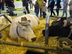 2015.02.26-079 vache bleue du Nord