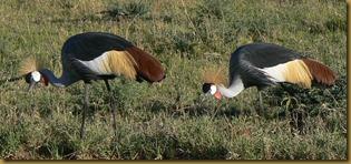 Masai Mara - Crested Cranes - wide 2