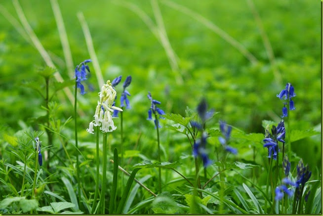 white bluebell flower
