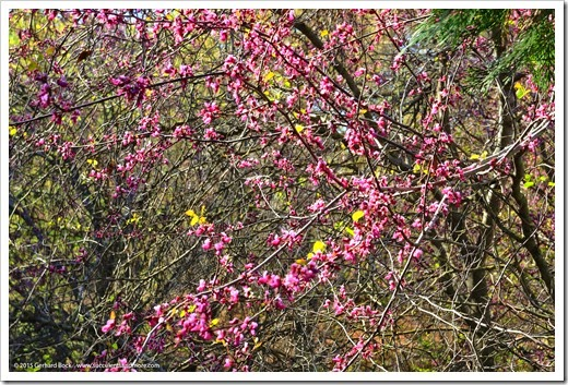 150307_UCDA_052_cercis-occidentalis