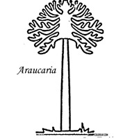 araucaria 1