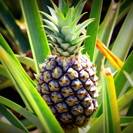 Dole Pineapple by Mina Thompson - Food & Drink Fruits & Vegetables ( fruit, tropical, plants, pineapple, hawaii )
