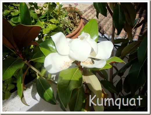 magnolio 3