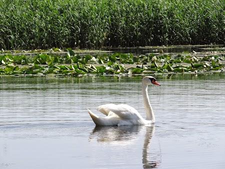 17. Lebadoi Delta Dunarii.JPG