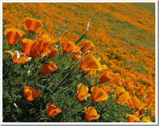 1280px-Eschscholzia_californica_(2)