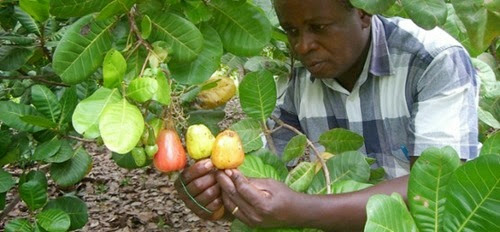 Cashew exporters expect N18bn negotiable duty credit grant