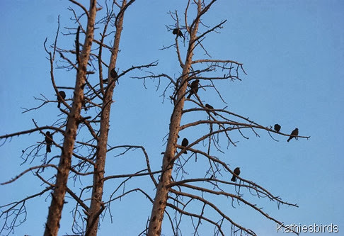 3. blackbirds in trees-kab
