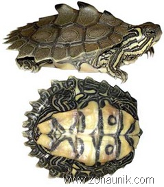 Black-knobbed-Map-Turtle