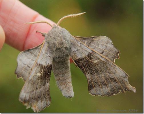 poplar-hawk-moth