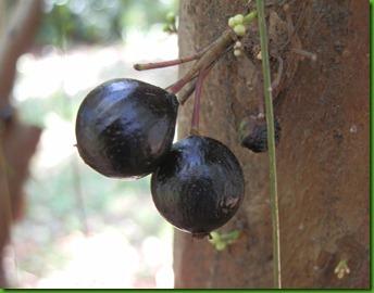 Myrciaria trunciflora