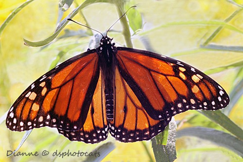 IMG_6954 Monarch Butterfly 1