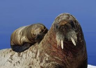 Amazing Pictures of Animals, photo, Nature, exotic, funny, incredibel, Zoo, Walrus,Odobenus rosmarus, Alex (9)