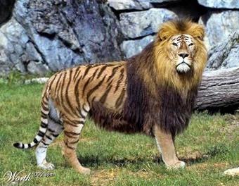 Tigone, leonessa più tigre maschio