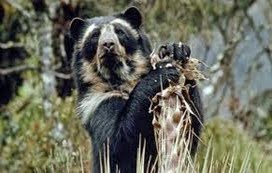 Amazing Pictures of Animals, Photo, Nature, Incredibel, Funny, Zoo, Spectacled bear, Tremarctos ornatus, Mammals, Alex (14)