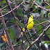 Yellow-rumped%252520flycatcher