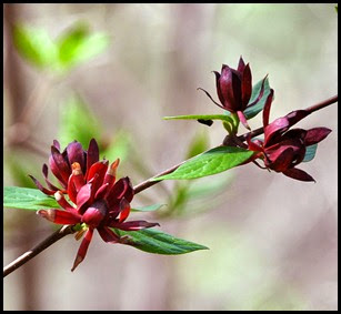 04 - Spring Wildflowers - Sweet Betsy
