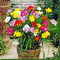 Freesias Mix