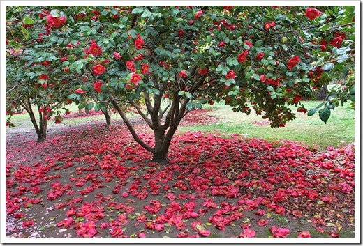 120317_Capitol_Park_Camellia-japonica_26