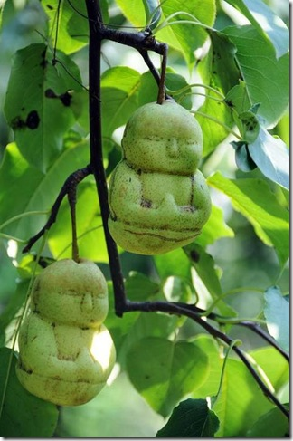 Buddha-shaped pears