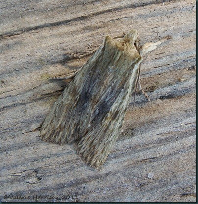 pale-pinion