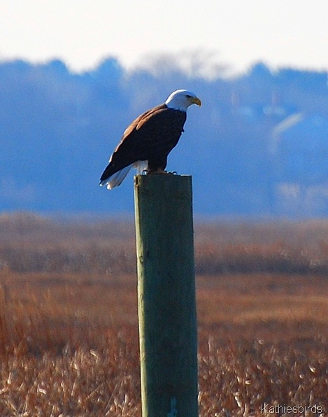 1. bald eagle-kab