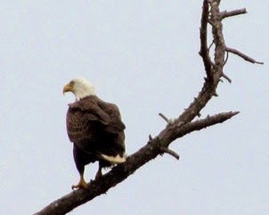 1502151 Feb 16 Bald Eagle On A Limb
