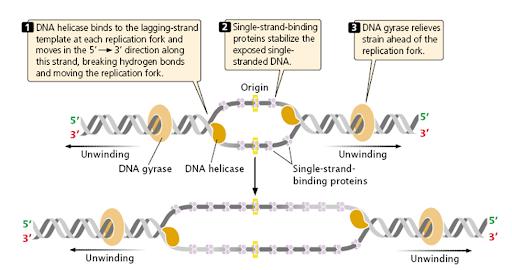 Steps involved in DNA Replication in Prokaryotes (E.coli ...