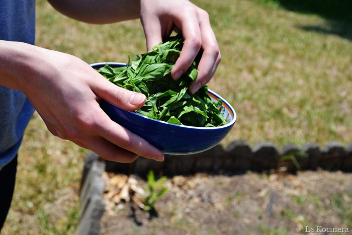 basil picking 2