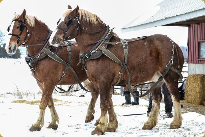 BELGIAN HORSES 2013 (34)
