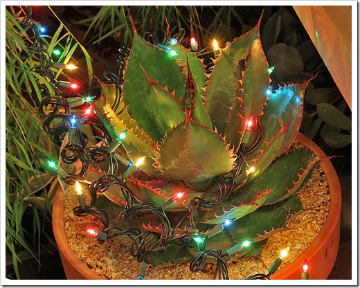 111222_agave_bovicornua_with_lights
