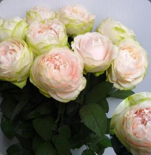 67c4096c292247ebb6f3a72f750ef39f_7 Beautiful Japanese Rose 'Mokomoko' bllom japan