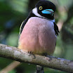 Black-And Yellow Broadbill-01.JPG