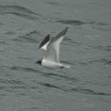 Sabine's gull