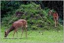 _P6A2072_cheetal_chital_deer_mudumalai_bandipur_sanctuary