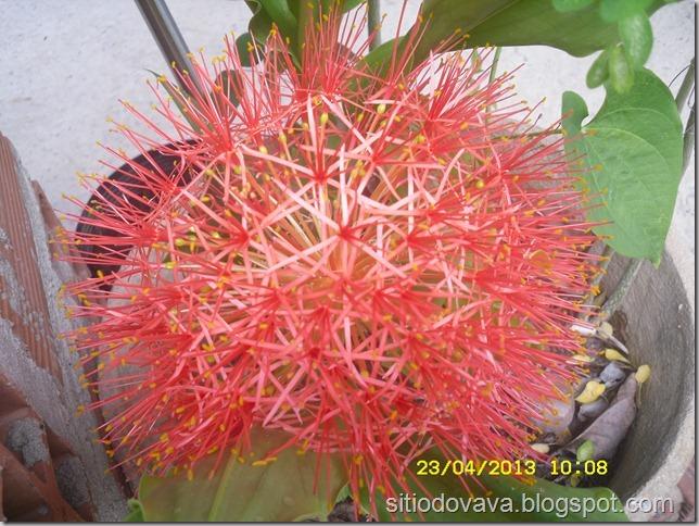 flor do lirio