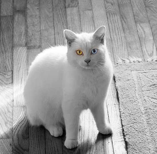All kittens are born with blue eyes that change color over the next couple of months of their lives.