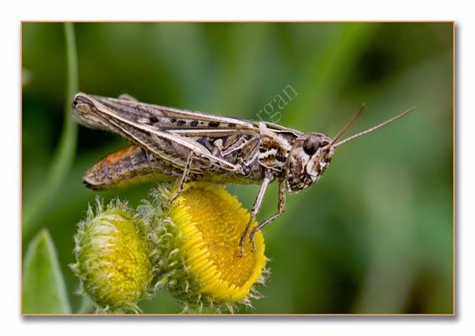 Grasshopper 2 cf