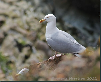 84-Herring-Gull