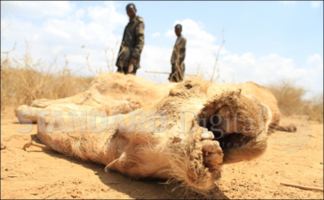 A carcass from a previous drought in Kenya. The government says it won't allow a repeat of such deaths and will provide water and fodder to wildlife in national parks. Photo: The Standard