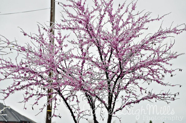 April-2013-Ice-Storm-Red-Bu