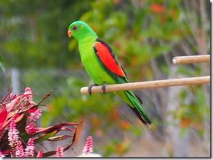 Red Shoulderred Parrot