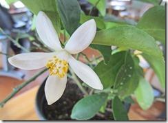 Meyer-Lemon-Blossom-3-3-2013