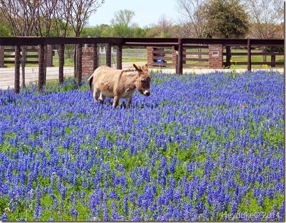Donkey in Bluebonnets