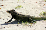 An Iguana On Magens Bay Beach - St. Thomas, USVI
