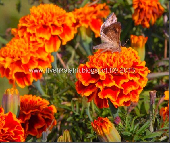 perhonen  sudenkorentoja 011