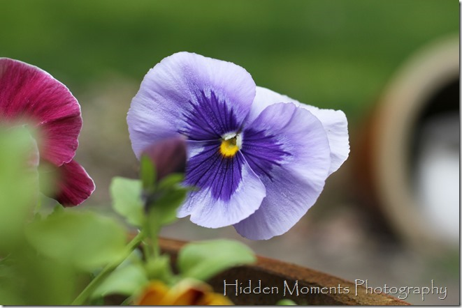 It wouldn't be Spring without pansies