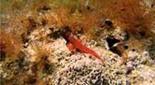 Méditerranée fonds sableux tryptérygion rouge