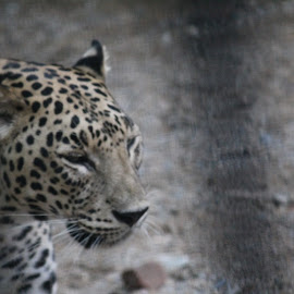 Leopard  by Jwal Dakwala - Animals Lions, Tigers & Big Cats ( #blacksports, #leapord, #king, #likeaboss, #feel )
