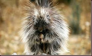 Amazing Pictures of Animals Porcupine (5)